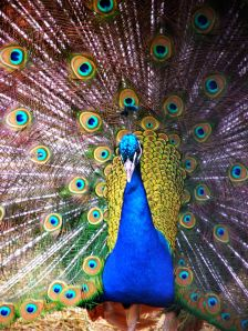 Peacock's were once thought to bring bad luck but were later associated with Christian mythology.