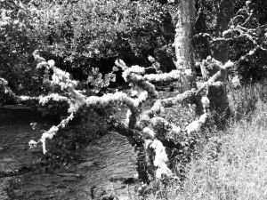 Mossy tree and river bw