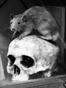 skull and rat
