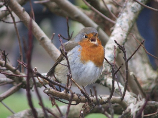Robin with attitude, Winter, Northumberland 2012
