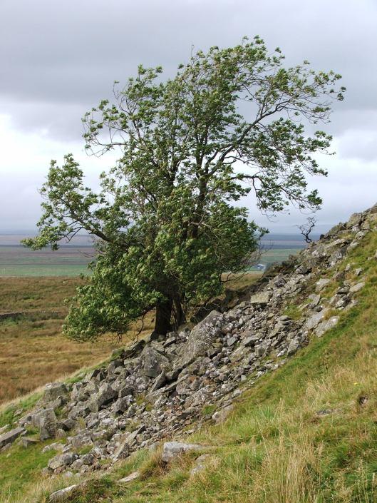 Windblasted tree on Hadrian's Wall, 2007