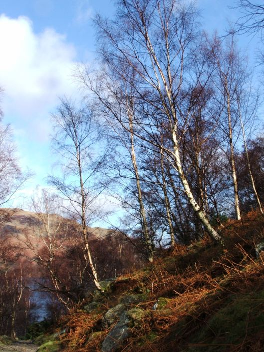 Silver Birches, Patterdale, Lake District, Feb 2008
