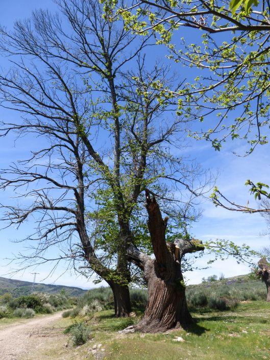 Grove pf beech trees on the way to Molinaseca