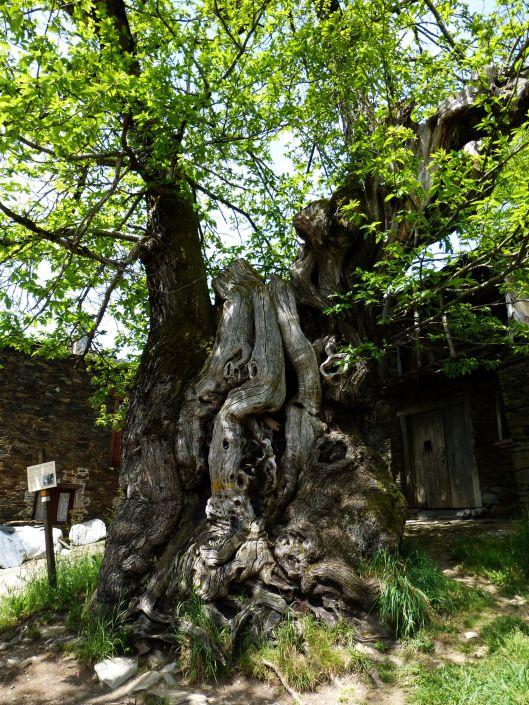 Ancient tree at Castano Mill