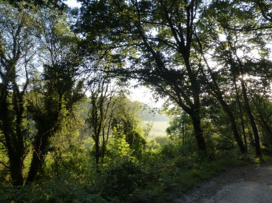 Early morning in the forest, Galicia