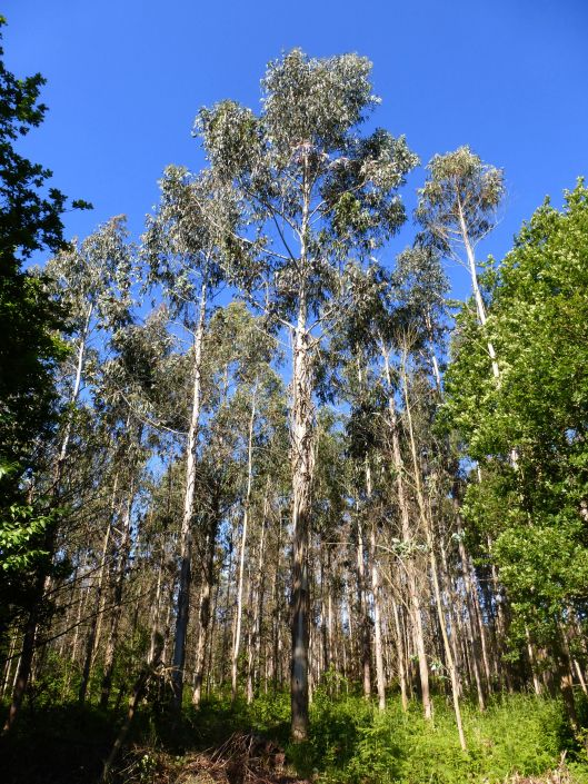 Commercially planted Eucalyptus trees (used for the pulp industry) have begun to replace the ancient beech and oak forests in some parts of Galicia.