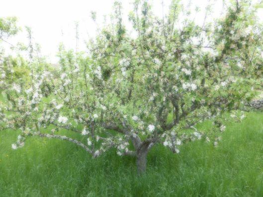 Spring Blossoms near Hornillos