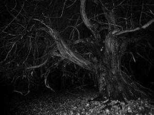 It is said that the dismembered bodies of witches once festooned this tree.